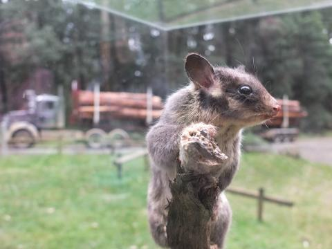 Barnaby Joyce wants more logging, endangering Leadbeater's possum