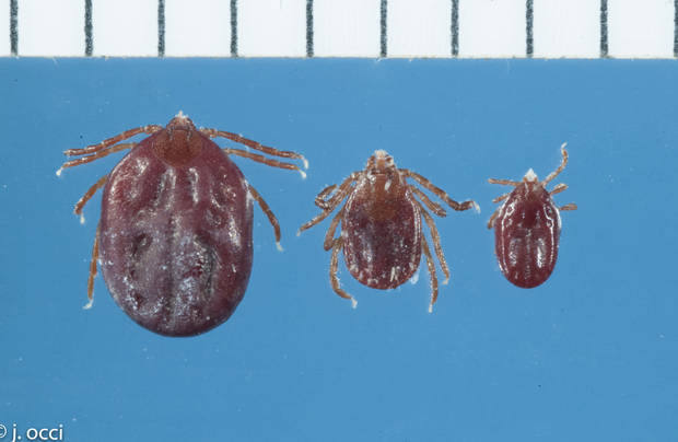 Rare type of tick inexplicably turns up in Arkansas
