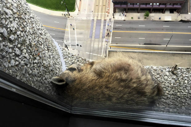 The Latest: Raccoon that climbed St. Paul tower set free