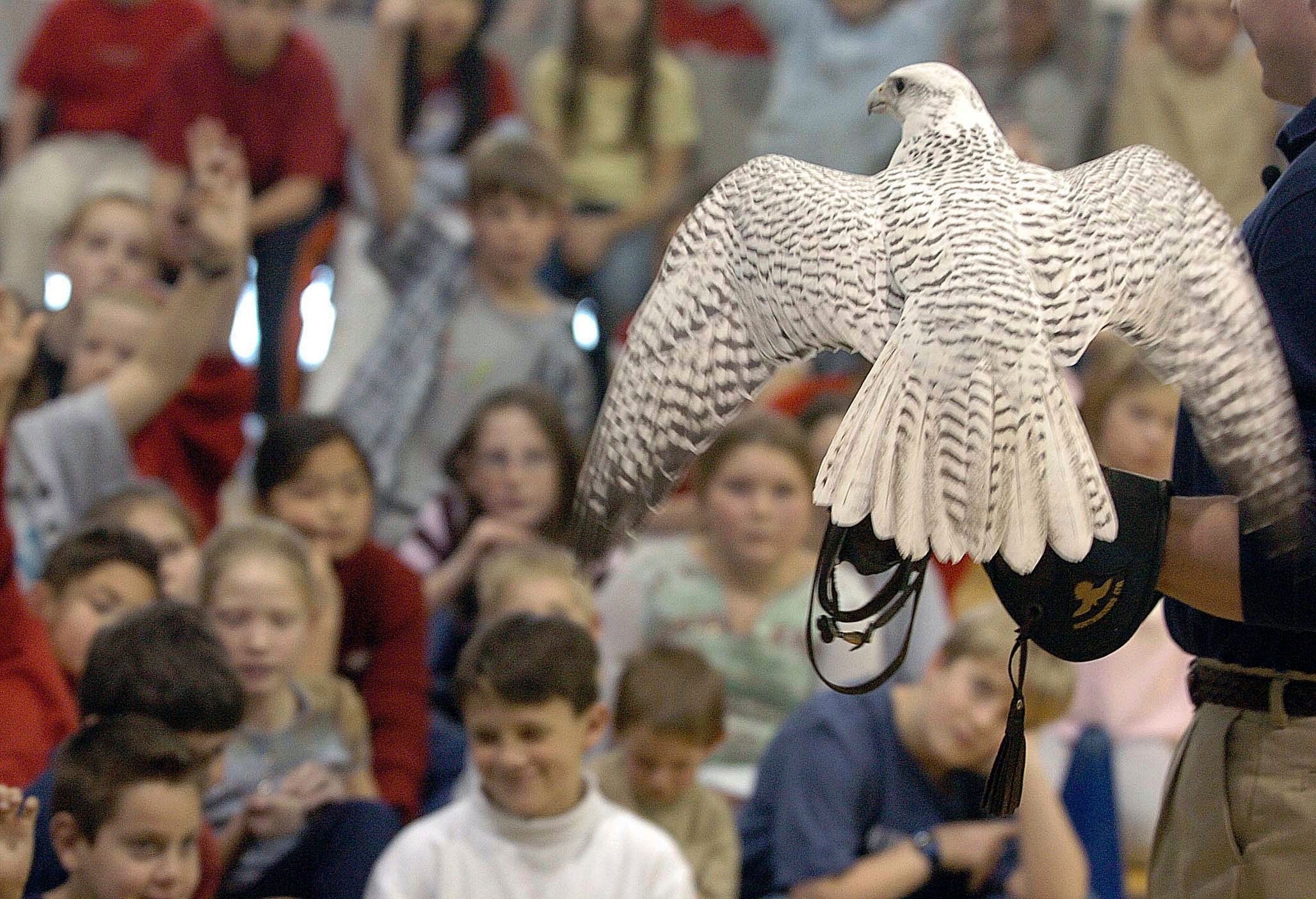 Injured Air Force falcon resting, with recovery expected