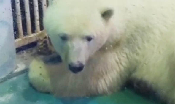 The world's saddest polar bear being reunited with his family… But will it be for good?