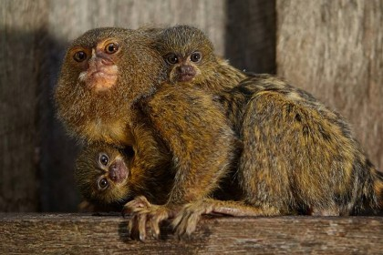 Rare miniature monkeys recovered after zoo heist