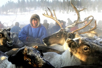 Siberia proposes culling 250,000 reindeer before Christmas