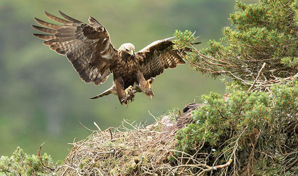 Scotland's Golden Eagle numbers are soaring