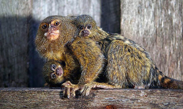 Monkey business: Three rare pygmy marmosets stolen from Australian zoo