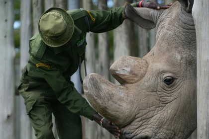 How IVF could bring white rhino back from the dead