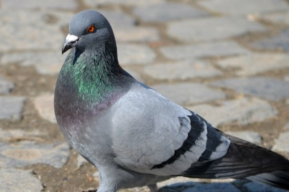 Pigeon detained after threatening Indian Prime Minister