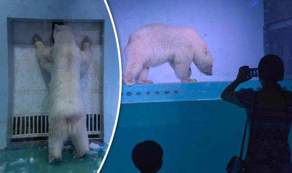World's saddest polar bear finally sees sunlight - but mall owners to rip happiness away