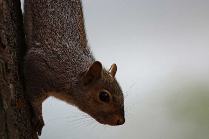 'Suicide bomber squirrel' hospitalises anti-squirrel politician