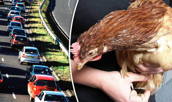 Why did the chicken cross the road? Frightened fowl baffles motorists on busy carriageway