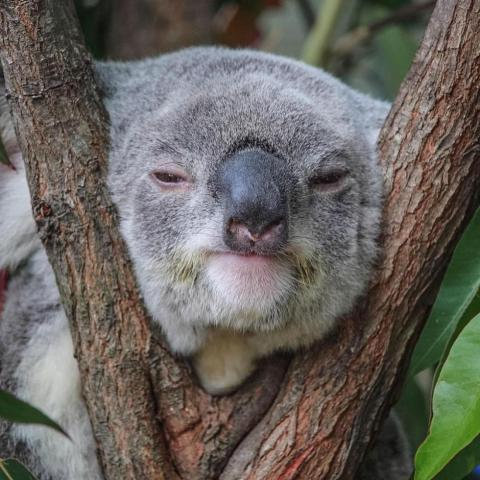 Gas company to bulldoze Queensland koala habitat