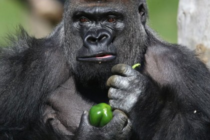 Escaped London Zoo gorilla drank five litres of fruit cordial