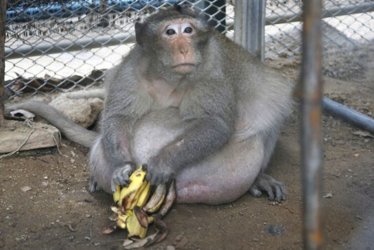 Obese monkey in Thailand put on diet after eating junk food left behind by tourists