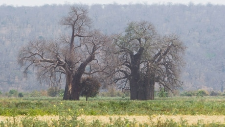 Africa's oldest baobob trees are dying from a mysterious threat