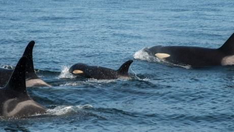 Scientists concerned after ailing orca J50 not seen for days