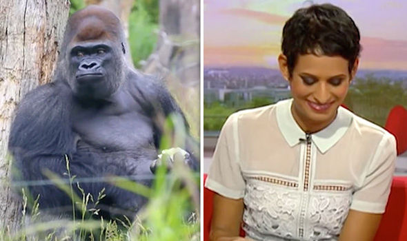 Hilarious moment BBC cuts to escaped gorilla Kumbuka during report on Nicola Sturgeon