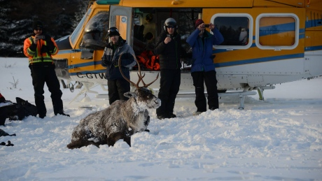 Endangered caribou being moved off Lake Superior island by helicopter